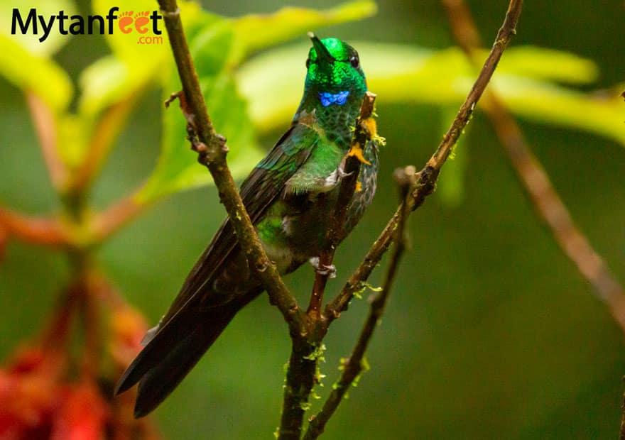 Selvatura park hummingbird