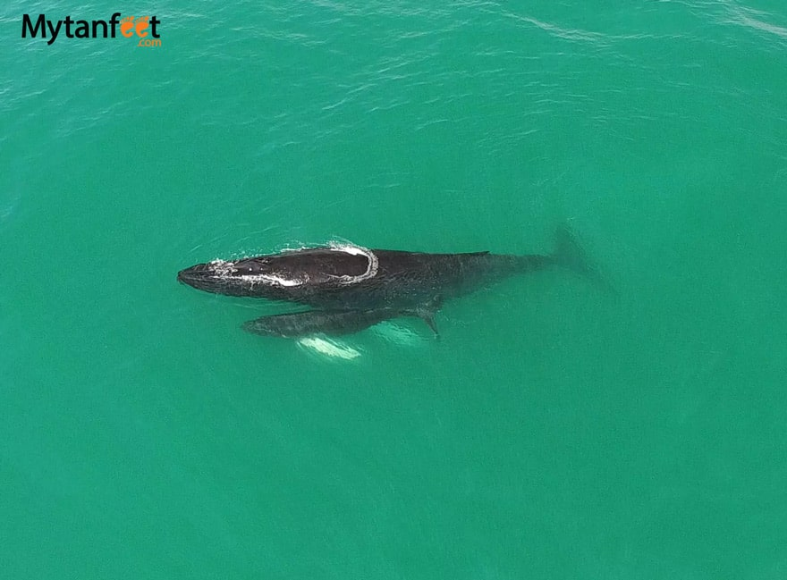 Humpback whales in Costa Rica - Mom and baby in uvita