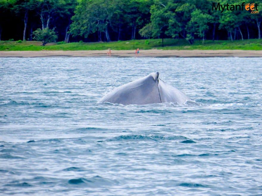 Humpback whales in Costa Rica - Playa Matapalo