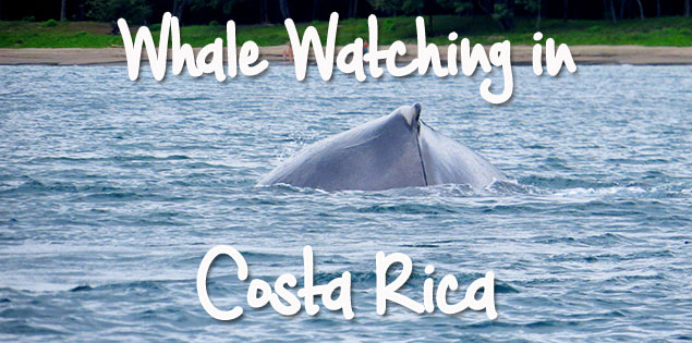 guide to seeing humpback whales in Costa Rica - when and where to see different types of whales, especially the humpbacks who pass by Costa Rica all year long