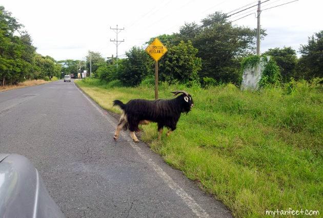 A goat crossing the road in Guanacaste