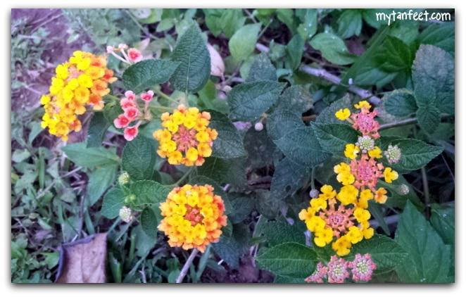 Flowers of Costa Rica
