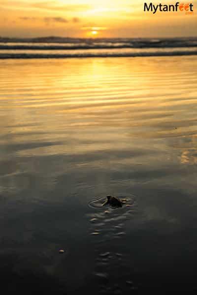 Ostional Wildlife Refuge - baby sea turtle