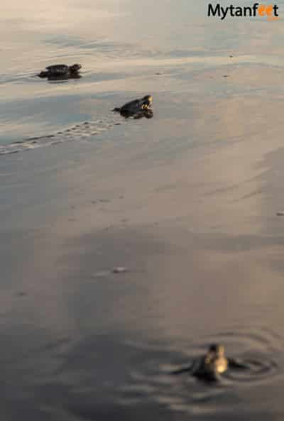 Ostional Wildlife Refuge - baby sea turtles
