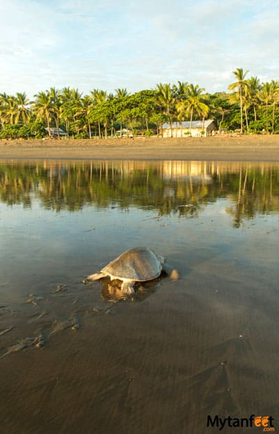Ostional wildlife Refuge - Playa Ostional Costa Rica turtle coming to shore during the day