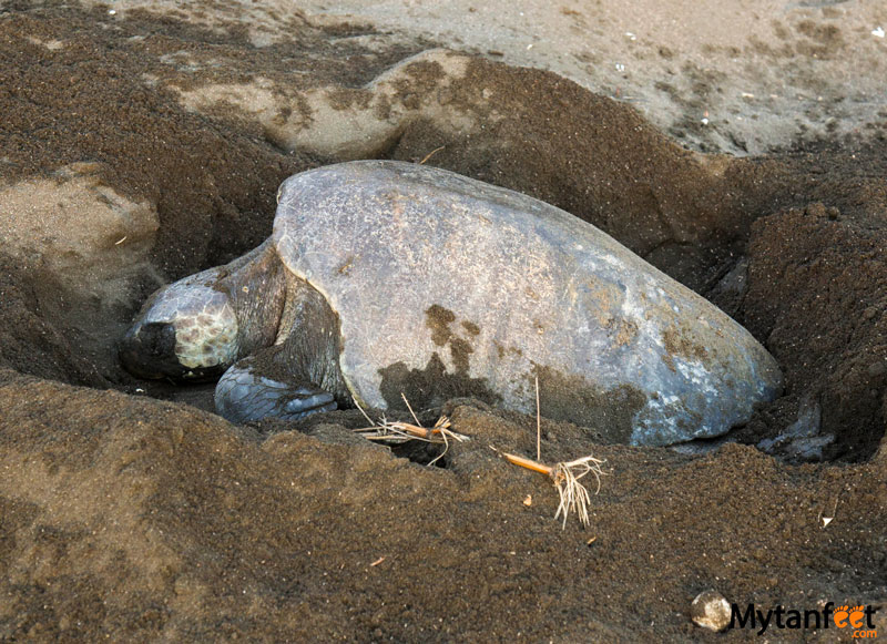 Ostional wildlife Refuge - female sea turtle laying eggs