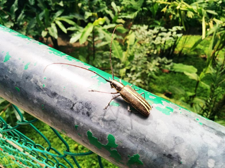 insects in Costa Rica - beetle