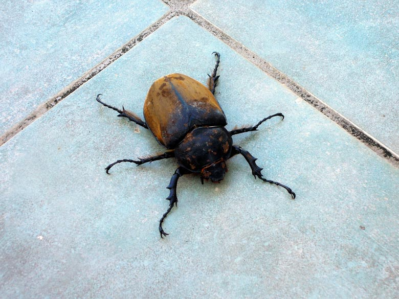 insects in Costa Rica - big beetle