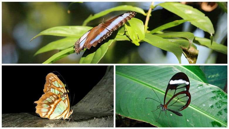 insects in costa rica - butterflies