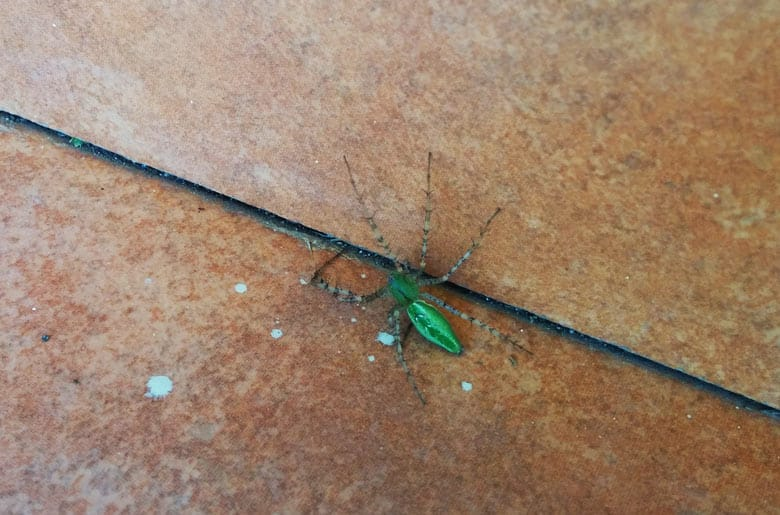 insects in costa rica - green spider