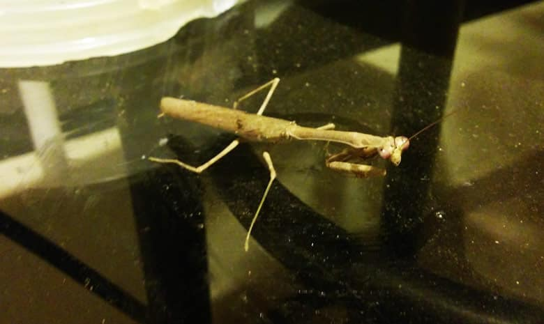 insects in costa rica - praying mantis