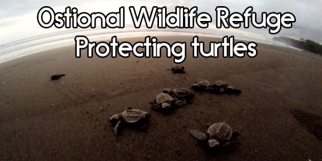 ostional wildlife refuge is one of the best places in Costa Rica to see sea turtles. Mother olive ridley sea turtles come to shore to lay their eggs and you can see thousands during an arribada. Baby sea turtles hatch throughout the day to make their way back to sea