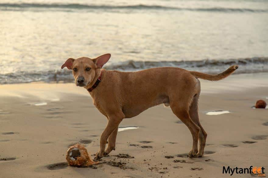 Bringing your dog to Costa Rica from USA - patacon