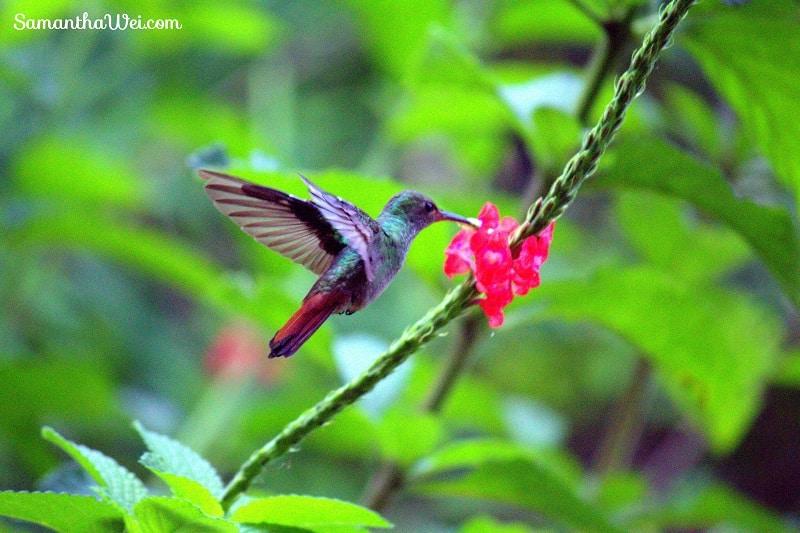 Rufuos tailed hummingbird