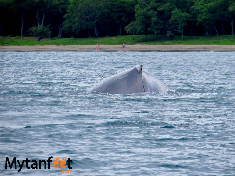 things to do in costa rica -Humpback whale watching