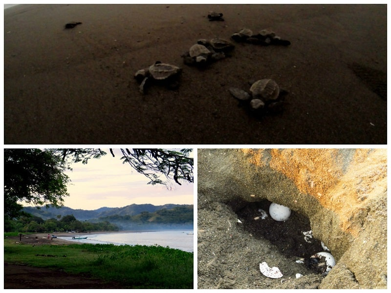 best day trips from playas del coco ostional wildlife refuge turtles