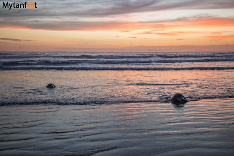 costa rica in rainy season - mating turtles