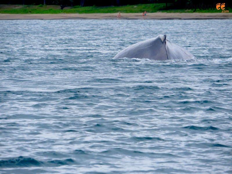 costa rica in rainy season - humpback whale