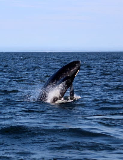 things to do on orcas island orca whale and wildlife watching