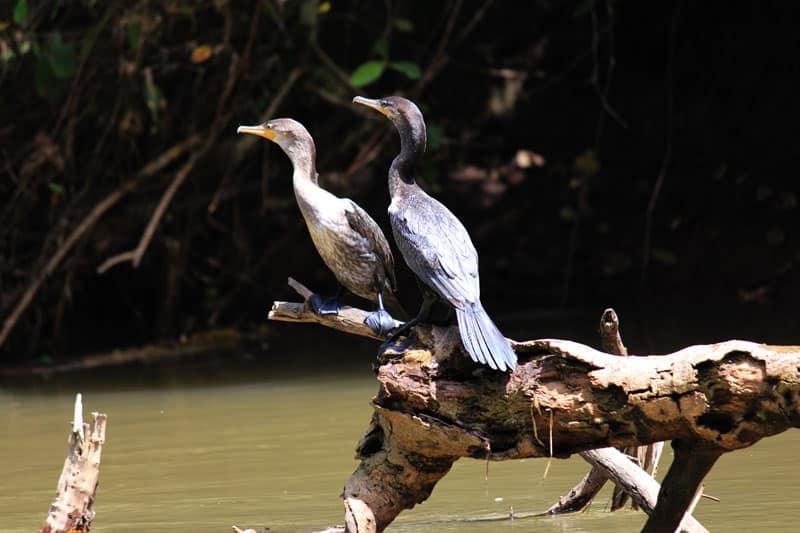 Rio Frio Safari Float Arenal La Fortuna - cormoran