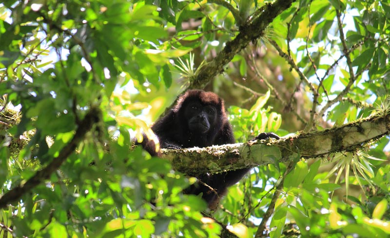 Rio Frio Safari Float - howler monkey