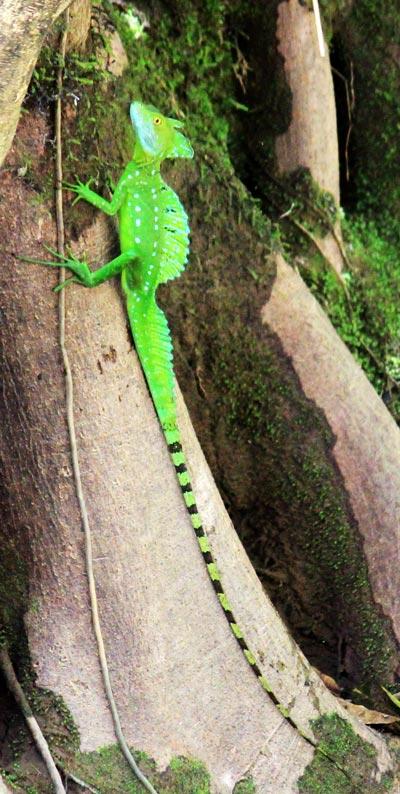 nature safari in rio frio - jesus christ lizard