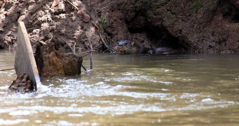 Rio Frio Safari Float - otter