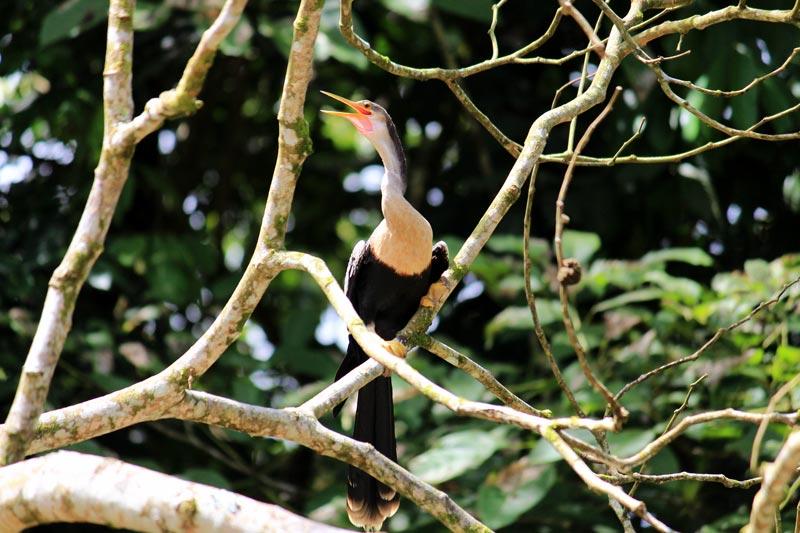 Rio Frio Safari Float - anhinga