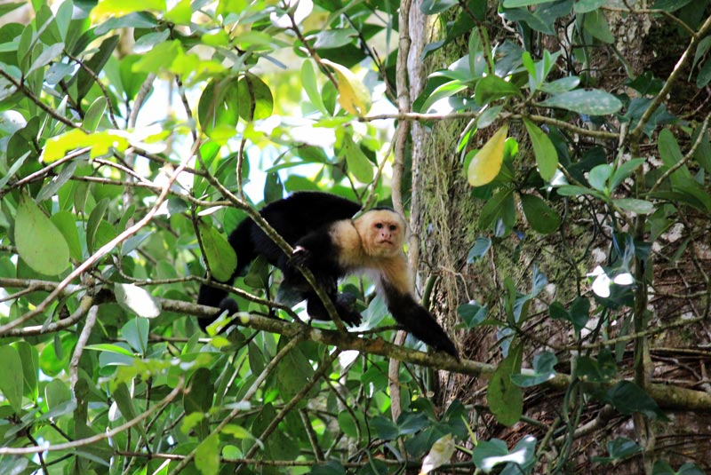 Rio Frio Safari Float Arenal - white face monkey or capuchin
