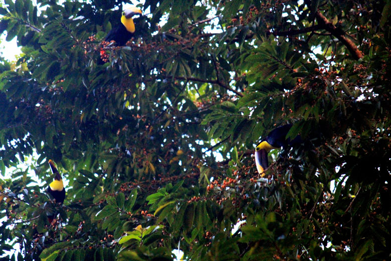 Iguana Lodge in Osa Peninsula - toucans