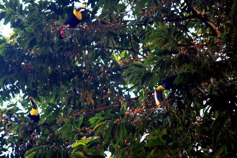 Iguana Lodge in Osa Peninsula - toucans