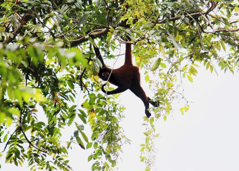 cabo matapolo wildlife watching hike - spider monkey