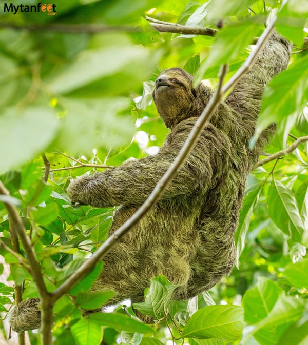 where to see sloths in Costa Rica - male 3 toed sloth