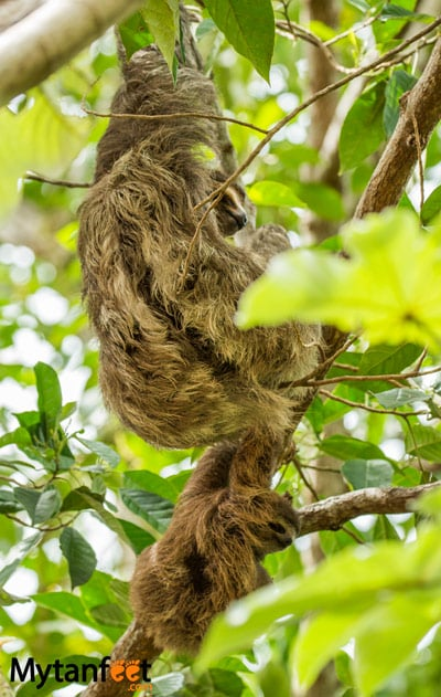 where to see sloths in Costa Rica - mom and baby 3 toed sloth in Uvita