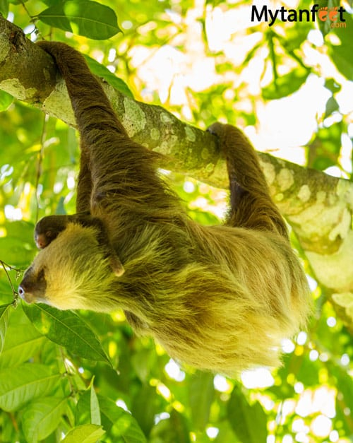 where to see sloths in costa rica - 2 toed sloth and baby