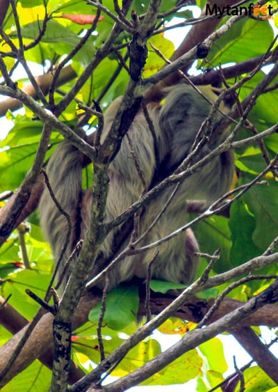 where to see sloths in costa rica - 2 toed sloth in matapalo