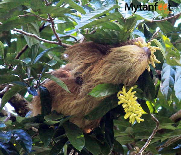 where to see sloths in costa rica - mom and baby 2 toed sloth manuel antonio national park
