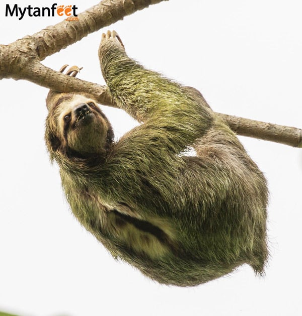 where to see sloths in costa rica - 3 toed sloth manuel antonio