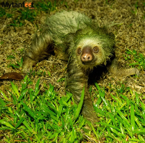 where to see sloths in costa rica - female 2 toed sloth walking in arenal