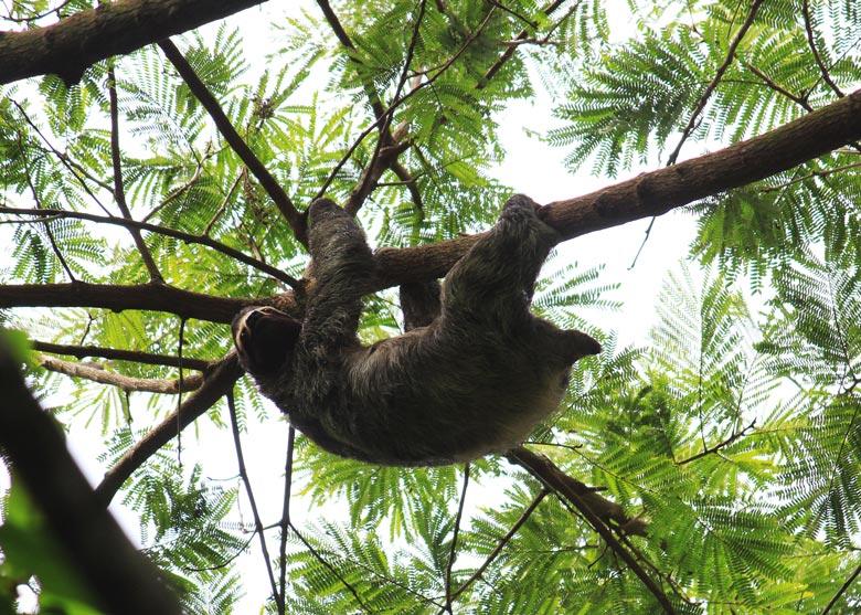 wildlife watching hike at matapalo - 3 toed sloth