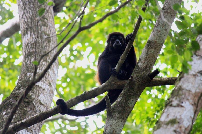 wildlife watching hike at matapalo - howler