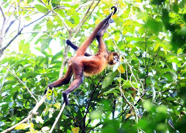 wildlife watching hike at matapalo - spider monkey
