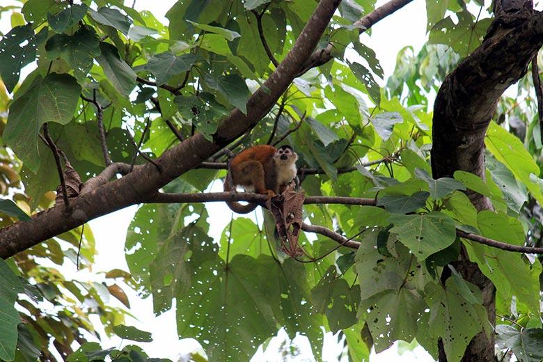 wildlife watching hike at matapalo - squirrel