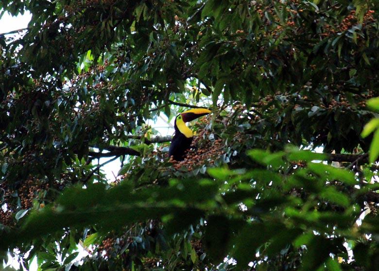 wildlife watching hike at matapalo - toucan
