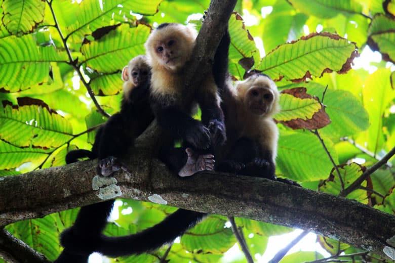 wildlife watching hike at matapalo - white face monkeys