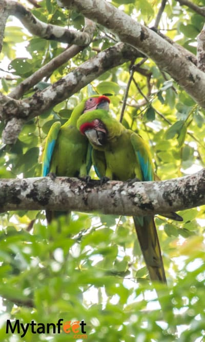 Birds of Costa Rica - Great Green Macaws