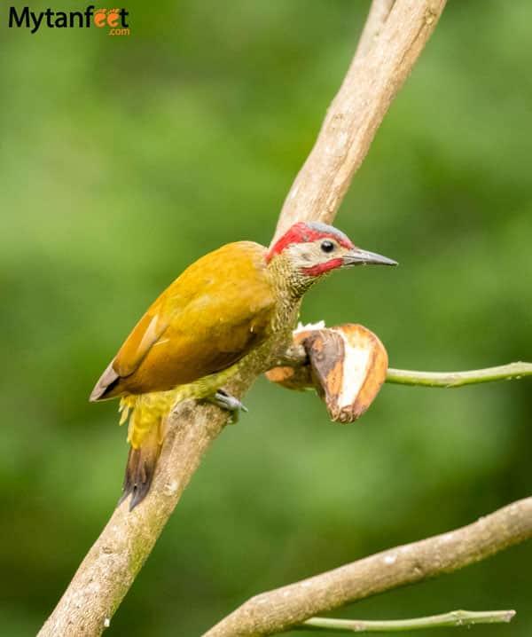 Birds of Costa Rica - golden olive woodpecker
