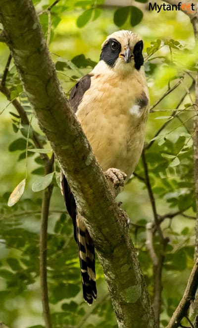 Birds of Costa Rica - laughing falcon