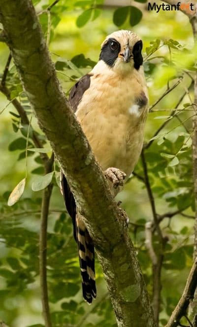 Birds of Costa Rica - laughing falcon