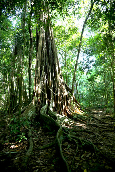 San Pedrillo and Sirena Station in Corcovado National Park - Tree Sirena